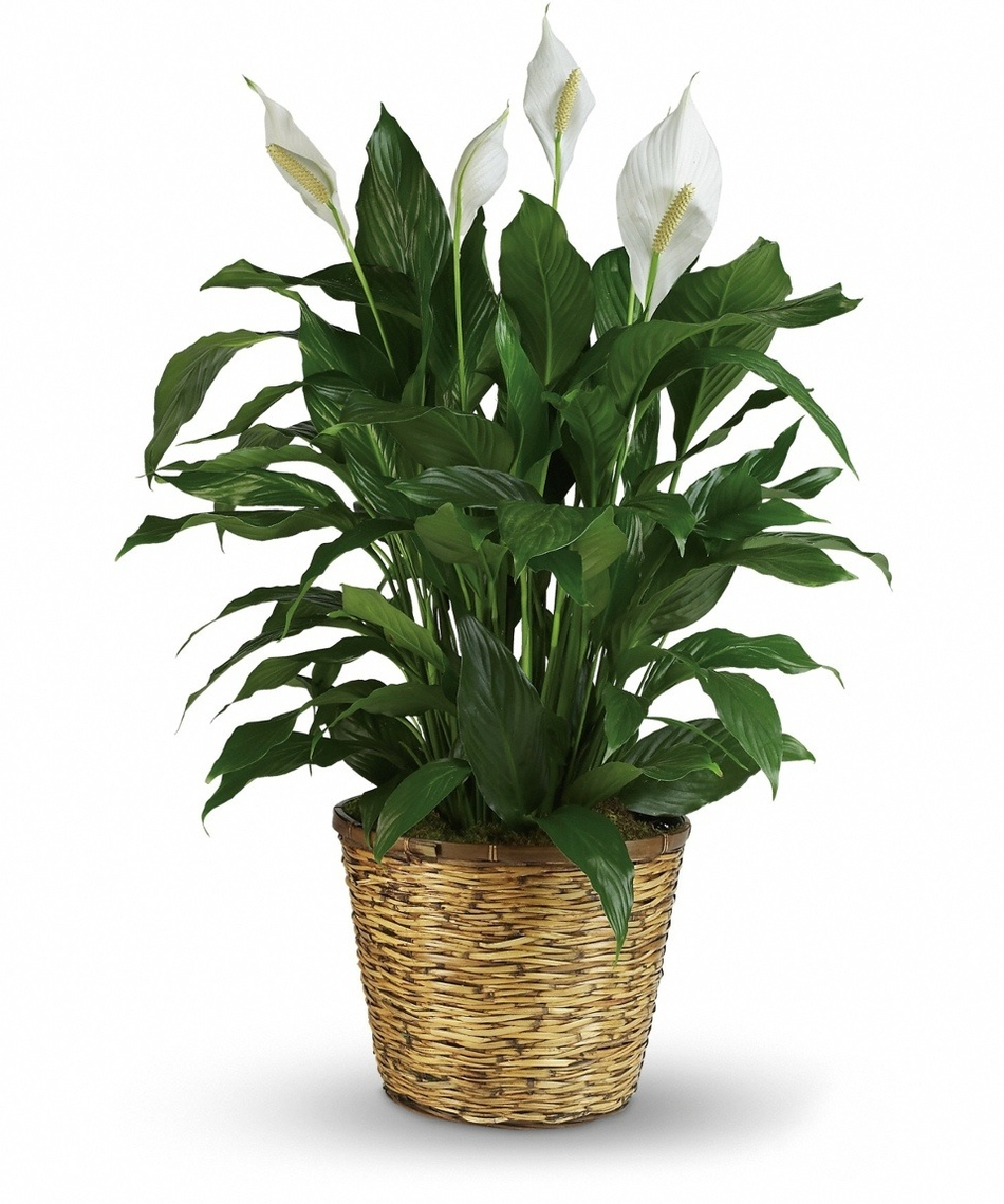 Plants - Indoor flowering plants ...